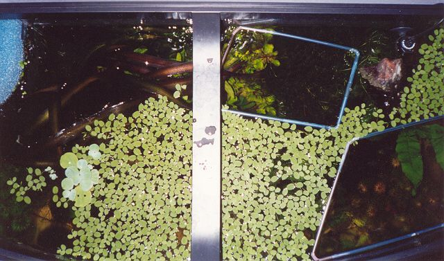schwimmpflanzen im aquarium